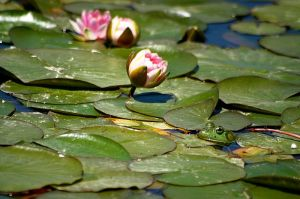 froghidinginlillypads